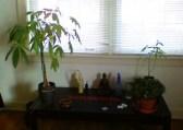 money-plants