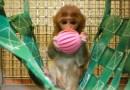 Cercetători GERMANI, urmăriți penal pentru cruzime față de maimuțe. Riscă până la trei ani de închisoare