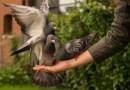 Au răpit un porumbel de competiție și au cerut răscumpărare proprietarului. Trei români, arestați în Spania