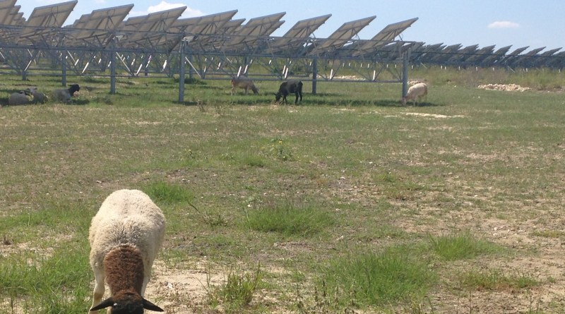 Sheep at Alamo 2