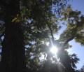 Green Shade Tree rebate