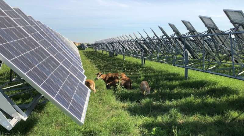 sheep in front of solar panel