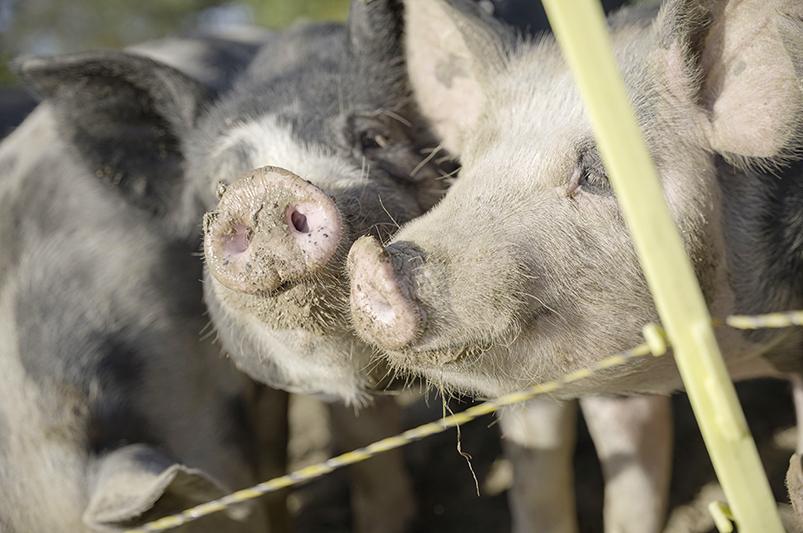 Pigs at Long Stone Farm