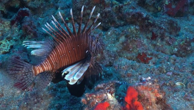 Lionfish | Source: OCEANA