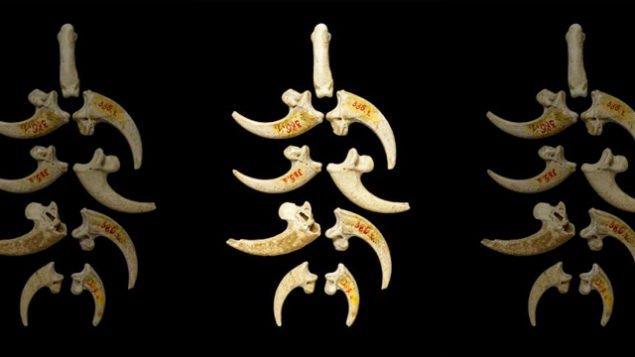 Восемь орлиных когтей от Крапиной договорились с орлиной фалангой, которая была также найдена на месте. (Лука Мджеда, Загреб)