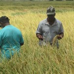 Rice production reaches record high