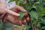Our pear trees have cherry and pear slug damage - sprinkle the trees with woodash or potash