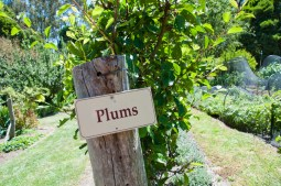 plums are vigorous espaliers