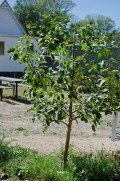 apple - dwarf cox's orange pippin - apples fruit on permanent fruiting spurs, try to train branches to the horizontal so the tree will produce more of these along the length of the branch