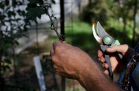 ealy atumn in the garde, plus peter takes cuttings for budding our plums