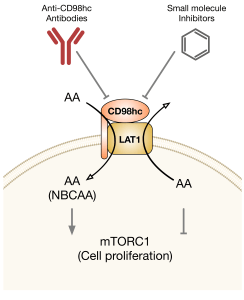 LAT1 regulation