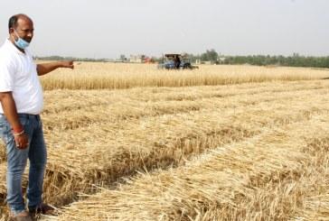 सबै किसानको गहुँबाली काट्दै तिलाठी कोइलाडी गाउँपालिका
