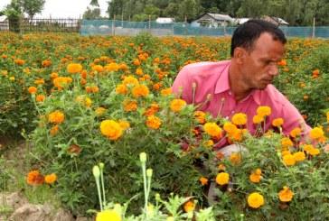 लकडाउनको मारमा सयपत्री फूल खेती