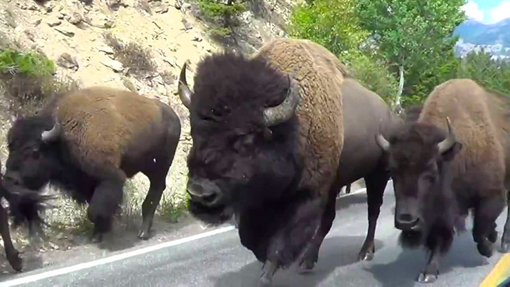 Watch bison stampede as one slams into tourists' rental car in Yellowstone National Park