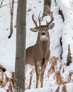 One-in-a-Million Rare 3-Antlered Deer In Michigan