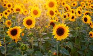 Tiny Sunflowers That Bend Toward Light and Harvest Solar Energy Created by U.S. Scientists