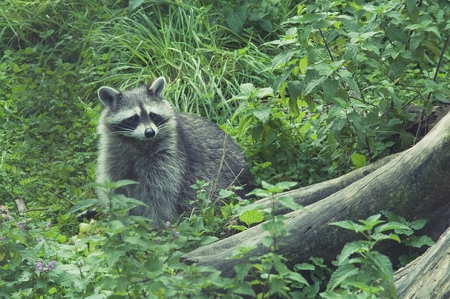 Health Department Offers Education Following Positive Raccoon Rabies Case