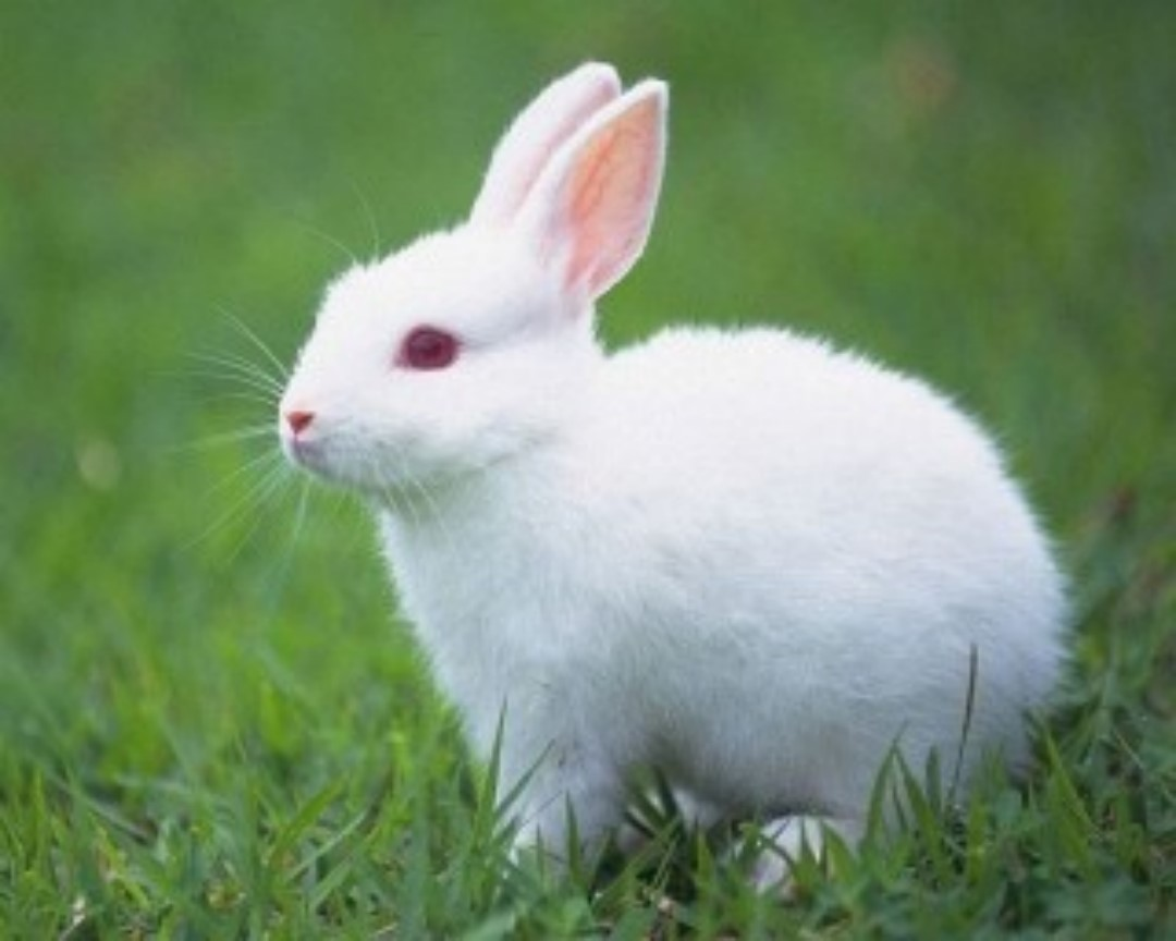 Cute White Rabbit Wallpapers For Desktop: Cute Rabbit HD Beautiful Wallpapers Picture Free For