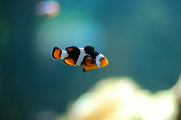 White Clown fish Swimming in Water