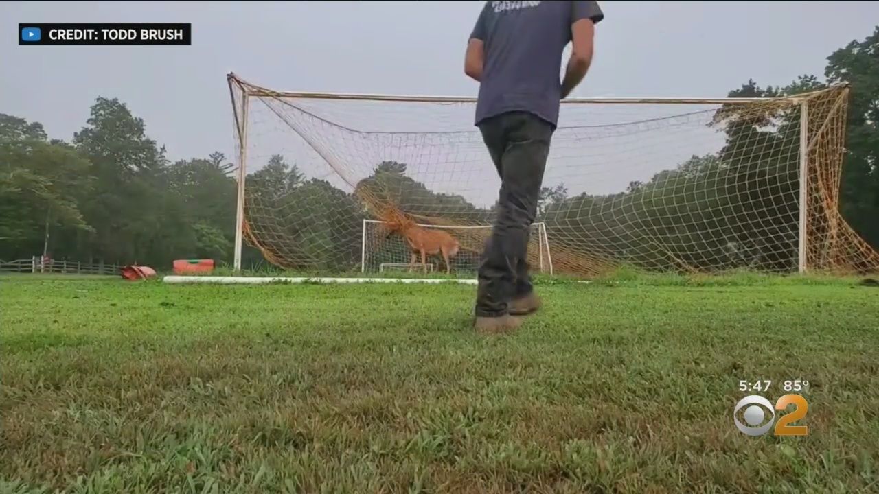Caught On Video: Long Island Driver Rushes To Save Deer Trapped In School Soccer Net