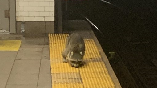 'Subway Raccoon' Aims To Be This Year's 'Pizza Rat' After Being Spotted In Brooklyn Train Station