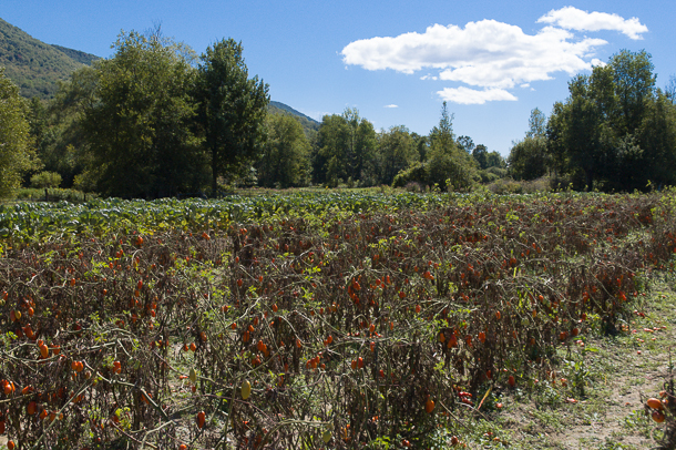 September Tomatoes, Caretaker Farm, Williamstown, MA. Photo © 2005 Michael Miller.