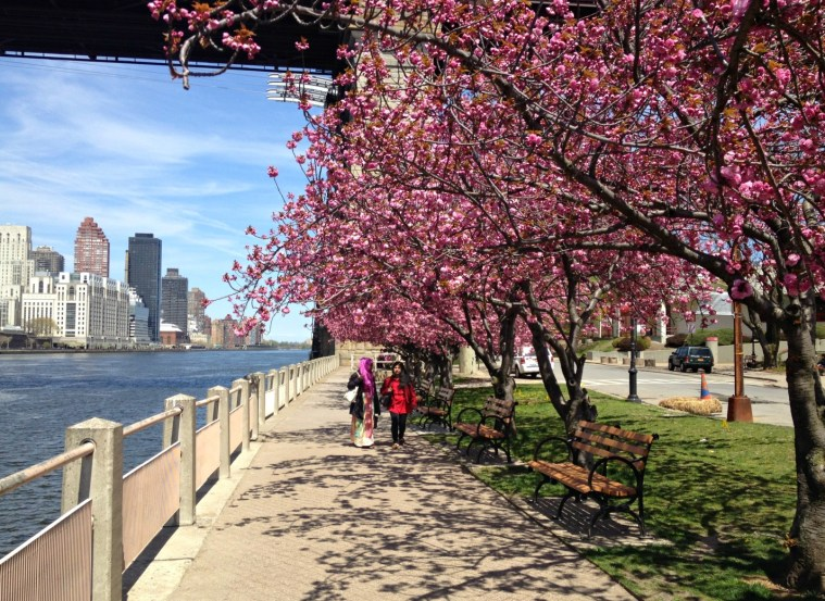 cherry-blossoms-path-nyc