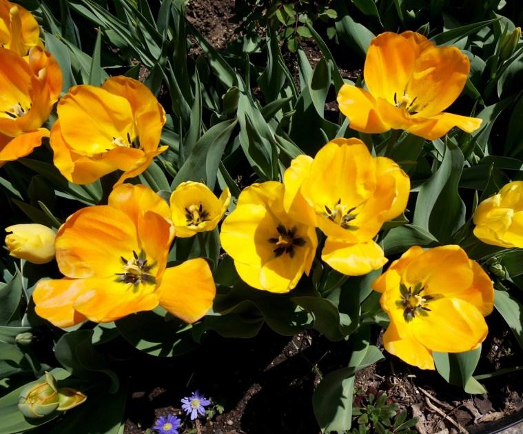 tulips-uws