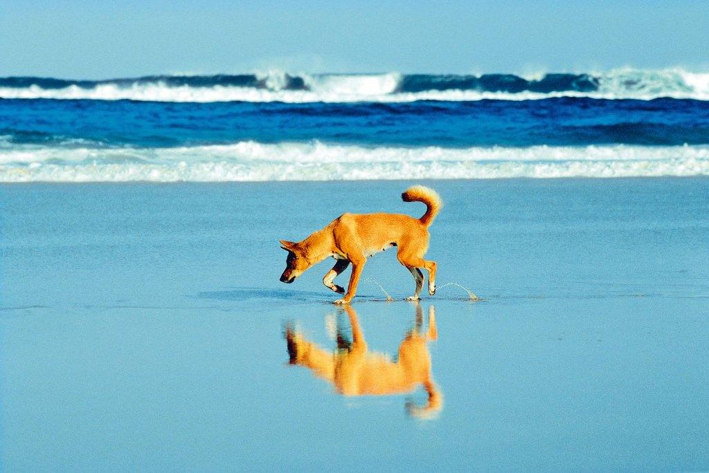 Fraser Island Dingos - Laurie Wang