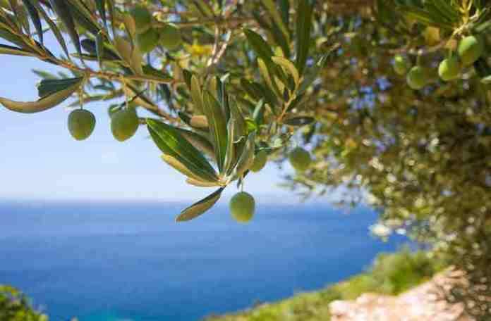 olive tree adoption gift