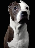 Violet, an aged pit bull, bravely plays Candy's smelly dog in Of Mice and Men.