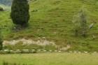 Schafe in Reih- und Glied