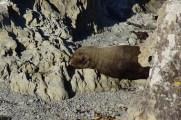 Seehund in der Nähe der Ohau Seal Colony