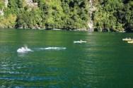 Delfine bespaßen die Kajak-fahrer