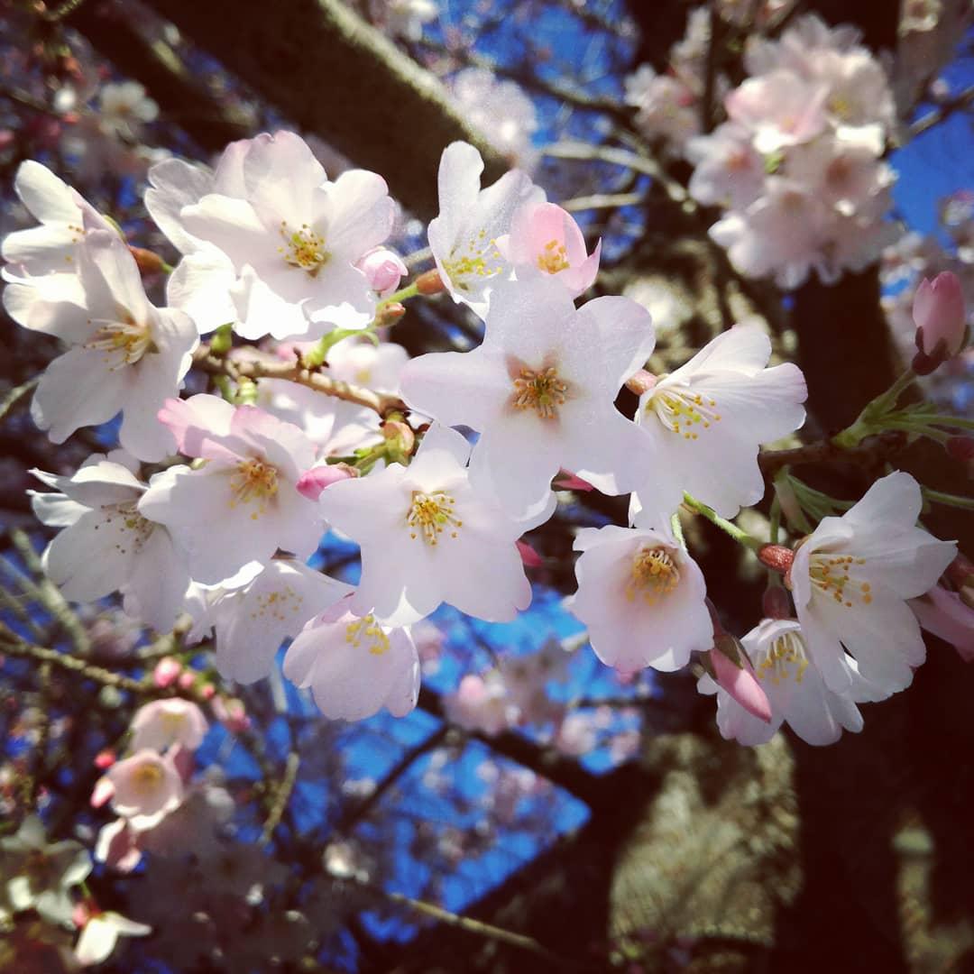 基督城花象预报:坎特伯雷大学樱花已经绽放40%,预计本周末全部盛开