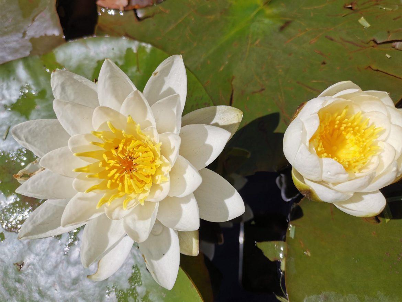 夏日。睡莲,玫瑰,牡丹(2020.11.22)