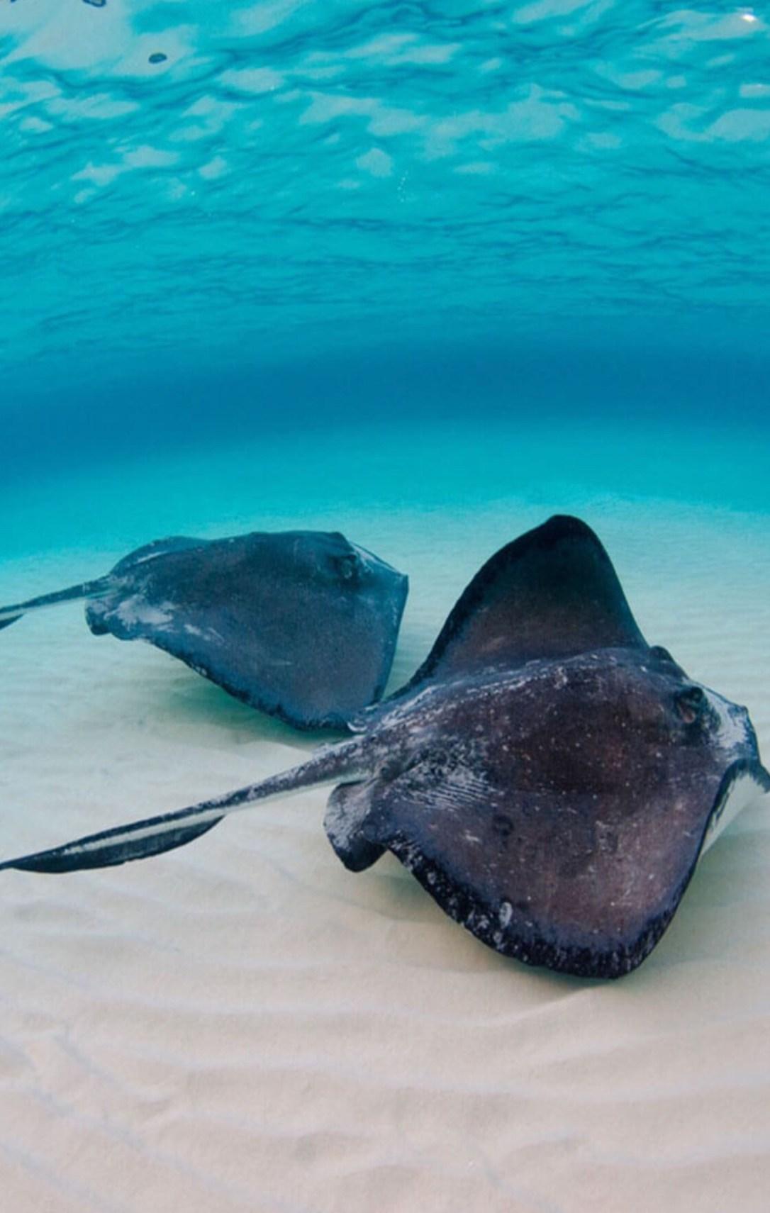 stingrays in the sea