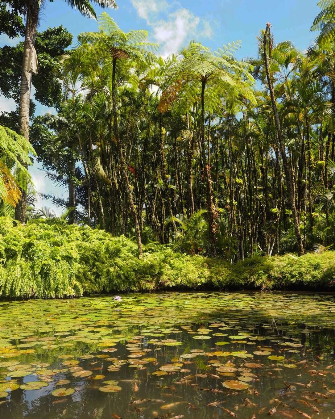 The pond at the botanic garden Jardin de Balata in Martinique