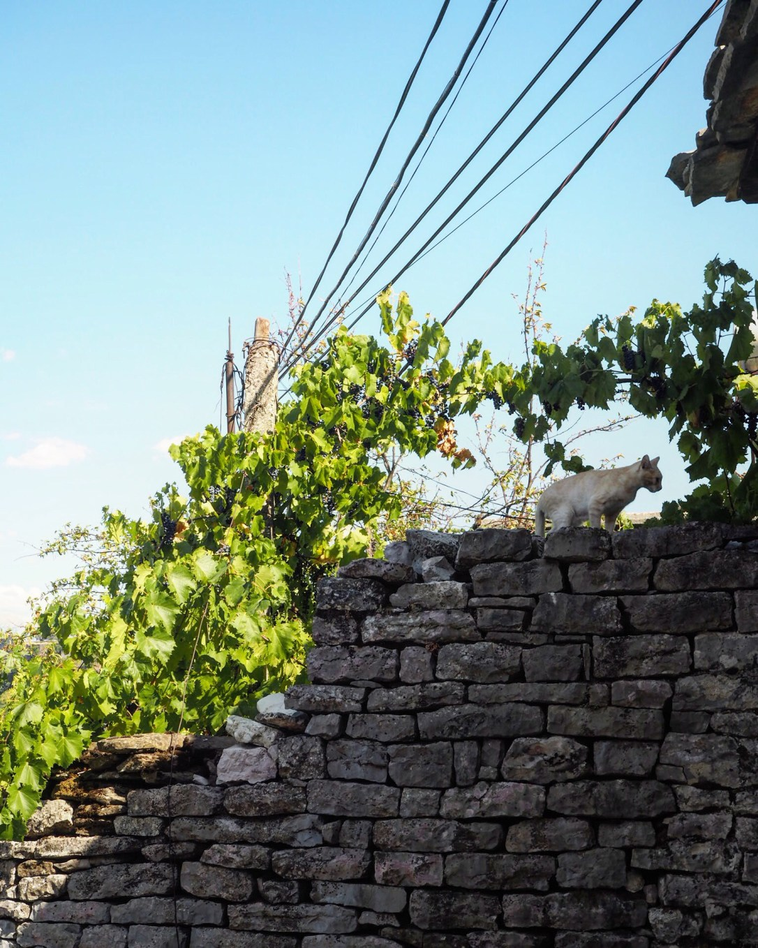 A cat on a wall in Albania