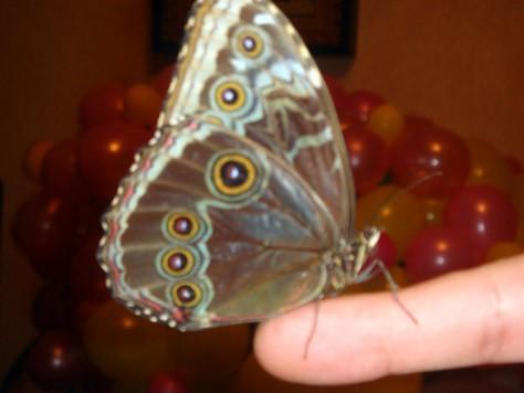 сидит на пальце показывает глазики на крыльях