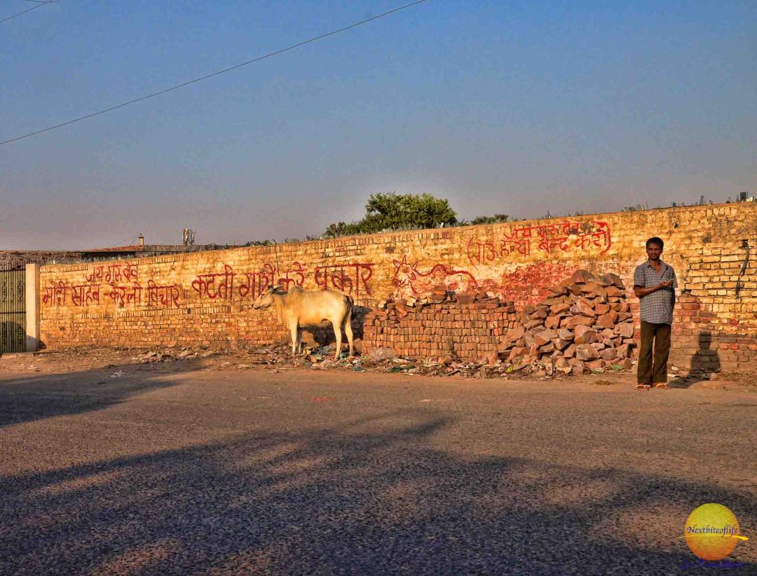 cow by wall with arabic writing new delhi
