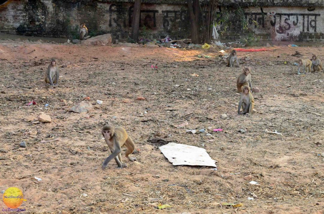 monkeys in new delhi