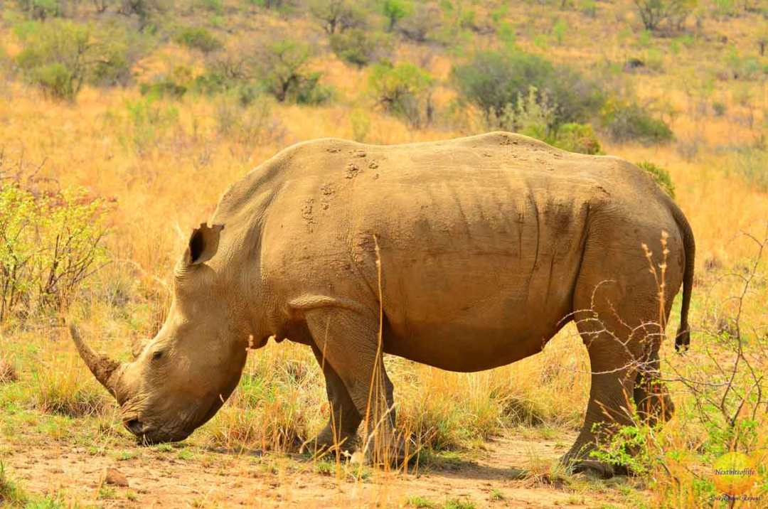 how successful was our big 5 african safari rhino