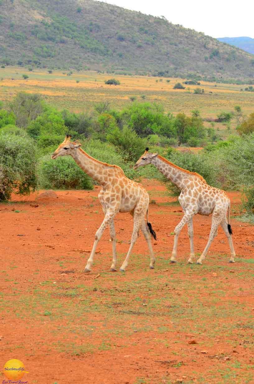 giraffe pilanesberg park