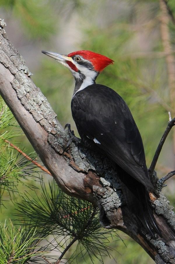 welcome ivorybilled woodpecker - 679×1024