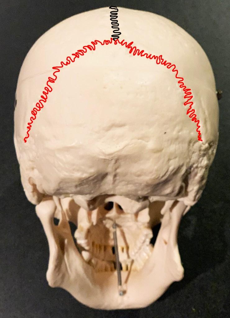 lambdoid skull