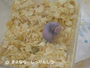 放医研マウスふれあい5