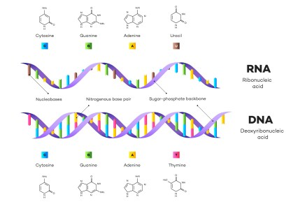 Molecular Structure Of DNA and RNA. Infographic Educational Vector Illustration