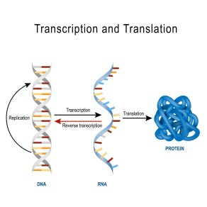 DNA Replication, Protein synthesis, Transcription and translation.