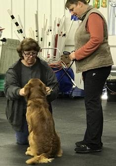 Golden Retriever being evaluated at CCA